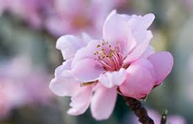 Peach Flowers Bbc Gardening Gardening Guides Techniques Growing A Peach Tree
