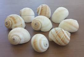 beach decor seashells shells home decor craft shells striped