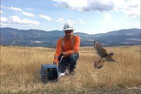 Wildfire Ladysmith Bc by Video Kestrel Released Into Wild Bring A Happy End To