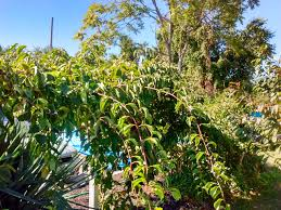 grape u2013 philadelphia orchard project
