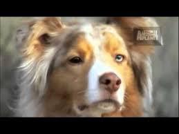 australian shepherd facts dogs 101 australian shepherd youtube