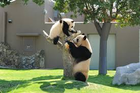 shirahama pandas and a beautiful white sand beach cnn