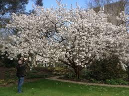 prunus tai haku google search small and medium sized trees