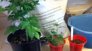Vegetable Garden Soil Mix by Best Soil Mix For Cannabis Seedlings And Flowering Marijuana