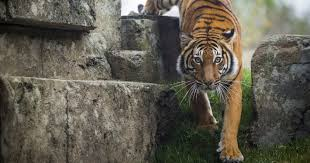 an exhibit with teeth tiger forest opens april 7 at zoo knoxville