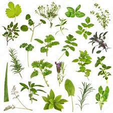 herb leaves identification images reverse search