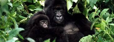mountain gorilla gorillas wwf