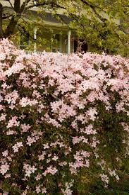 Clematis Pink Anemone Clematis Monrovia Pink Anemone Clematis