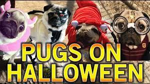 pug o ween halloween pug meet up youtube