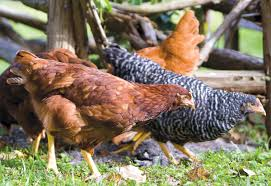 Chicken Backyard by Keeping Chickens Eggs In The Kitchen Pets Out Back Edible Rhody