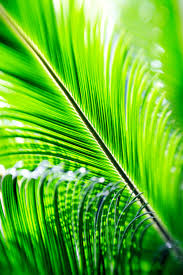images of palm tree leaf widescreen sc
