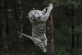 white tiger tree topper a six year white bengal tiger