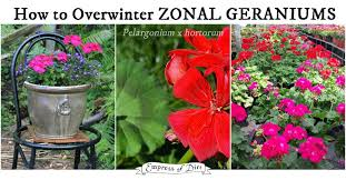 The Geranium On The Windowsill Just Died How To Overwinter Zonal Geraniums Pelargoniums Empress Of Dirt