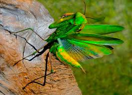 praying mantis wings by siegfried matull beautiful
