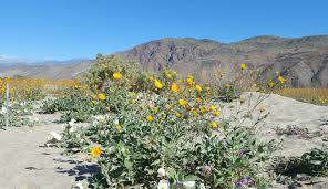 anza borrego wildflowers blooming images reverse search