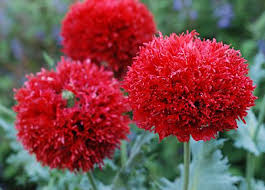 best 25 red perennials ideas on pinterest red plants flowers