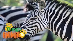 zebra animals for children kids videos kindergarten preschool