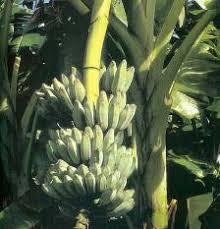 banana plants and banana trees 50 size plants