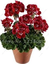 geranium flower picture more detailed picture about 100 pcs