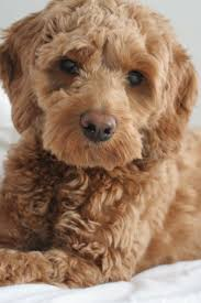 Do Cockapoo Dogs Shed A Lot by 25 Best Dogs Images On Pinterest Animals Cockapoo Puppies