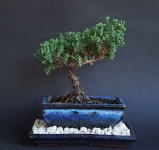 amazon com over 5 years old juniper indoor bonsai tree with