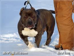 pitbull muscle supplements