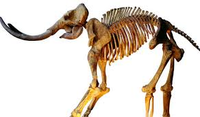 osteoporosis contributed wooly mammoth extinction