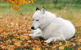 beautiful white husky wallpaper 6898390
