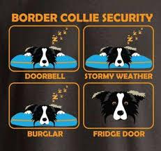 Border Collie Meme - de 51 b磴sta border collies bilderna p礇 pinterest