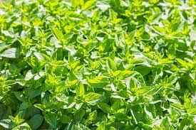 origan frais en cuisine branches d origan frais vert photographie milosz 77315904