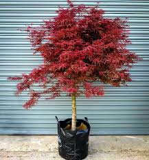 japanese small trees maple tree sun acer comexchange info