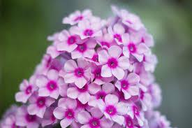 info on garden phlox growing hardy garden phlox