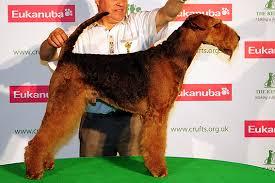 boxer dog crufts 2015 irish terrier bob crufts 2013 ch fleet st fire and ice dog
