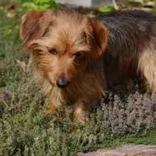 short haired dorkie mixes dorkie dog breed everything about dachshund yorkie mixes