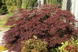 japanese maple delayed freeze damage walter reeves the