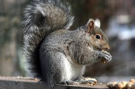 Kentucky wild animals images Gray squirrel state wild game animal state symbols usa jpg