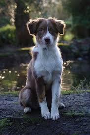 e locus australian shepherd 393 best australian shepherd images on pinterest animals aussie