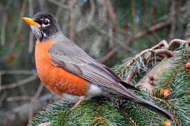 american robin facts and trivia