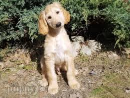 afghan hound arizona afghan hound puppies for sale euro puppy