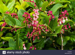 native plant gaultheria shallon or salal is a native plant of the pacific stock