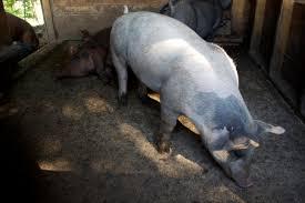 pig podcast 3 ag u0026 eats