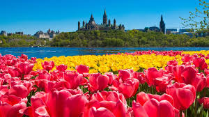 tulip festival map different ways to experience the beautiful tulip festival in