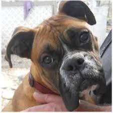 rescue a boxer dog les 20 meilleures idées de la catégorie boxer dog rescue sur