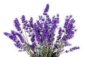 lavender flowers lavender flowers stock photos royalty free business images