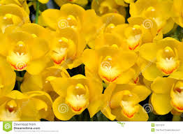 yellow orchid flower stock photo image of group background