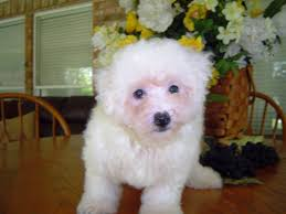 bichon frise breeders texas puppies for sale bichon frise bichon frises bichons frise