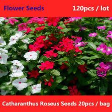 vinca flower catharanthus roseus seeds 120pcs madagascar periwinkle vinca