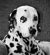288 dalmatians images dalmatian puppies dogs
