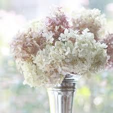 shabby flowers peony photograph like yesterday pink peonies print
