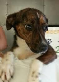 australian shepherd 1 yr old adopt zeke on german shepherd dogs dogs and german shepherds